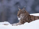 A Captive Eurasian Lynx  Lynx Lynx  Lying in Snow