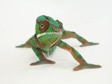 A Panther Chameleon  Furcifer Pardalis