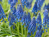 Close View of Grape Hyacinth Flowers  Muscari Species  in Springtime