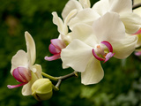 Close Up of White and Pink Moth Orchids  Phalaenopsis Species