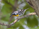 A Male Yellow-Throated Warbler  Dendroica Dominica  on a Tree Branch