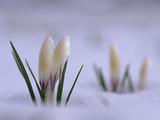 Wild Crocuses Emerging Through a Blanket of Snow