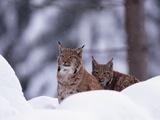 A Pair of Captive Eurasian Lynxes  Lynx Lynx  in a Snow Shower