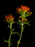 An Indian Paintbrush  Castilleja Coccinea