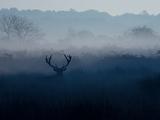 A Red Deer  Cervus Elaphus  in the Autumn Mist