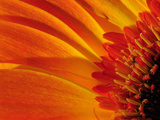 Close Up of a Orange Gerbera Daisy  Gerbera Species