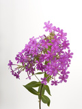 Studio Portrait of Phlox Flowers