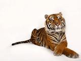 A Critically Endangered Sumatran Tiger  Panthera Tigris Sumatrae