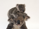 A Federally Threatened Koala Climbs on Top of its Mother, Who Has Conjunctivitis Papier Photo par Joel Sartore