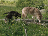 A Black Gray Wolf Pup Follows a Mid-Ranking Female Adult