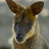 Portrait of a Wallaby