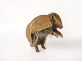 A Southern Three-Banded Armadillo  Tolypeutes Matacus