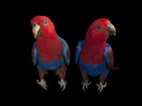 New Guinea Red-Sided Eclectus Parrots  Eclectus Roratus Polychloros