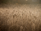 Cattails Going to Seed Among Golden Grasses