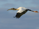 Wood Stork  Mycteria Americana  in Flight