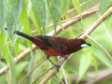 A Male Silver-Beaked Tanager  Ramphocelus Carbo  Perched in a Tree