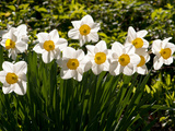Line of Spring Daffodils  Narcissus Species  in Flower in Springtime