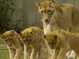 A Lioness and Her Cubs  Panther Leo  Socializing