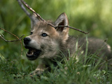 A Male Gray Wolf Pup Learning to Howl