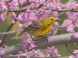 A Pine Warbler  Dendroica Pinus  Perched in a Redbud Tree in Spring