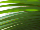 Close Up of Screwpine Leaf Blades Showing Red Spines on Leaf Margins