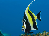 Portrait of a Moorish Idol Fish  Zanclus Cornutus  or Crowned Scythe