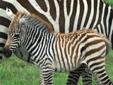 A Young Common Zebra, Equus Quagga, Next to its Mother Papier Photo par Kike Calvo
