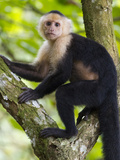 A White-Headed Monkey Pauses from a Climbing a Tree for a Photo