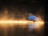 A Mute Swan  Cygnus Olor  Bathes in the Golden Morning Glow