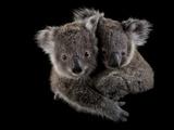 A Pair of Federally Threatened Koala Joeys Snuggle Together