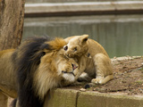 Male Lion and Lion Cub  Panthera Leo  Socializing in their Enclosure