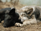 Two Sleeping Gray Wolf Pups Papier Photo par Jim And Jamie Dutcher