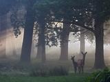 Two Red Deer, Cervus Elaphus, Wander Through the Mist in Autumn Papier Photo par Alex Saberi