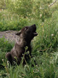 A Howling Black Female  Gray Wolf Pup