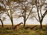 Masai Giraffes Graze in the Fields of Tanzania