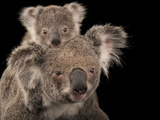 A Federally Threatened Koala with Her Baby Papier Photo par Joel Sartore