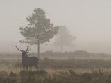 A Bull Elk  or Wapiti Bull  Cervus Canadensis