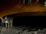 A Bobcat  Lynx Rufus  Traverses the Mexican-Texas Border