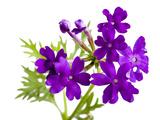 A Tapien Blue-Violet Verbena  Verbena Hybrid