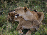 Two Cubs Rub Up Against a Lioness
