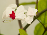 Close Up of Flowers on a Bleeding Heart Vine  Clerodendrum Thomsoniae