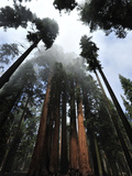 Giant Sequoia Trees and Fog