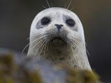 Portrait of a Harbor Seal, Phoca Vitulina Papier Photo par Roy Toft