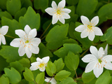 Rue Anemone Plants in Bloom  Thalictrum Thalictroides  in Springtime