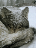 A Sleeping Alpha Male Gray Wolf in Falling Snow