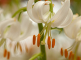 Close Up of a Cluster of White Lilies with Bright Orange Stamens