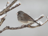 A Dark-Eyed Junco  Junco Hyemalis  Perched on a Snowy Branch