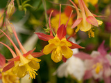 Cluster of Red and Yellow Columbine Flowers  Aquilegia Species