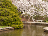 Japanese Garden with Flowering Cherry Tree  Green Shrub and Pond