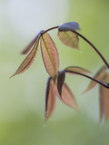 New Japanese Maple Leaves in Spring
